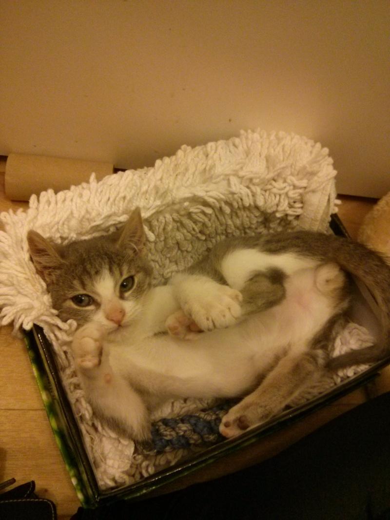 jean s - Jean's, chaton de type européen gris tabby et blanc, né le 06/09/2014 Img_2029