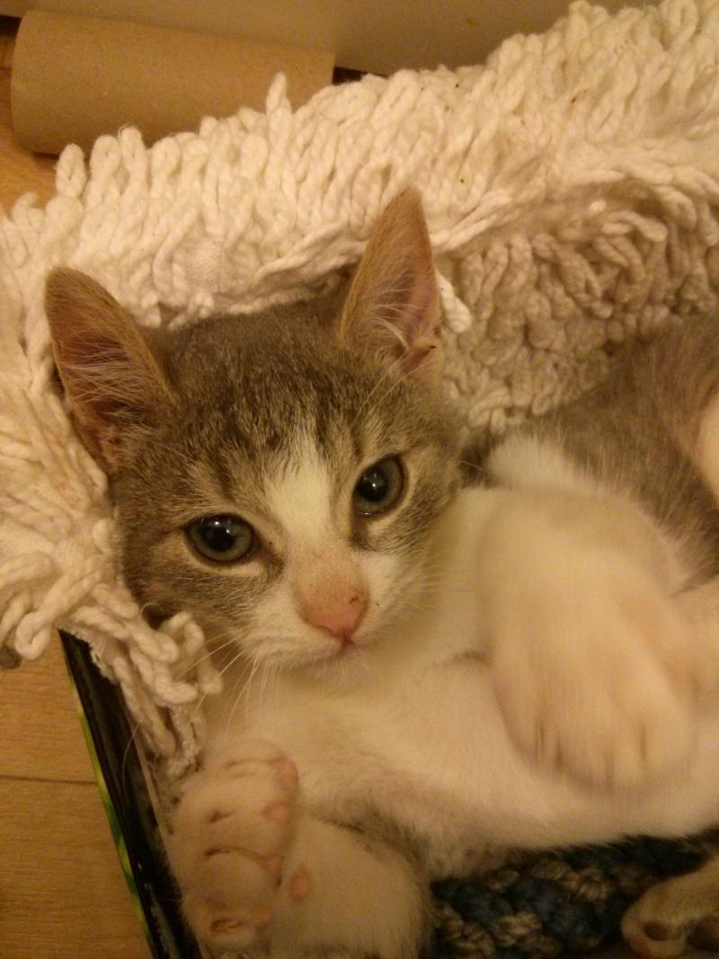 jean s - Jean's, chaton de type européen gris tabby et blanc, né le 06/09/2014 Img_2030