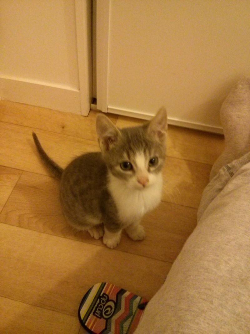 jean s - Jean's, chaton de type européen gris tabby et blanc, né le 06/09/2014 Img_2032