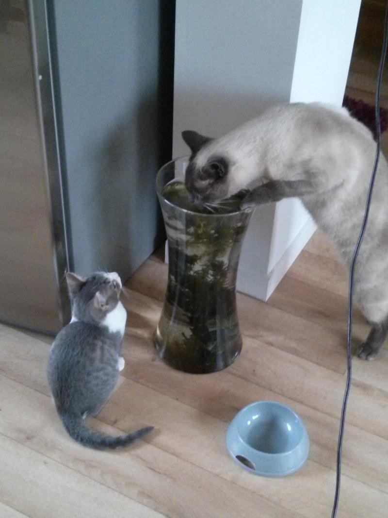 jean s - Jean's, chaton de type européen gris tabby et blanc, né le 06/09/2014 Img_2039