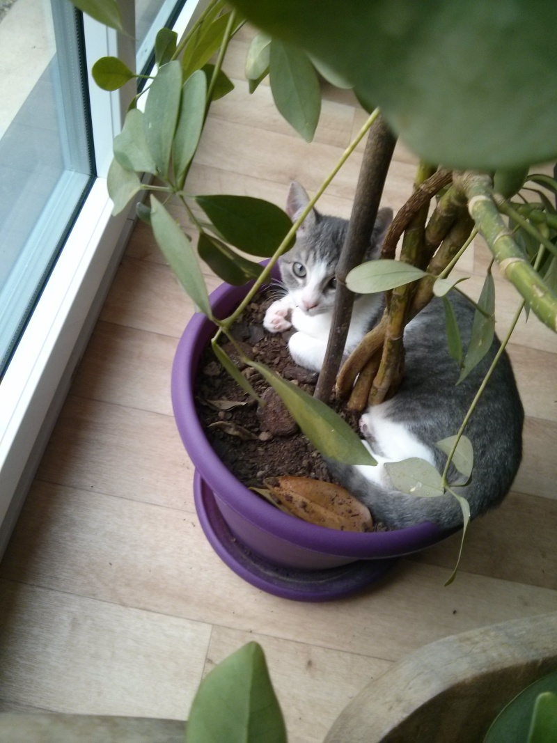 jean s - Jean's, chaton de type européen gris tabby et blanc, né le 06/09/2014 Img_2040