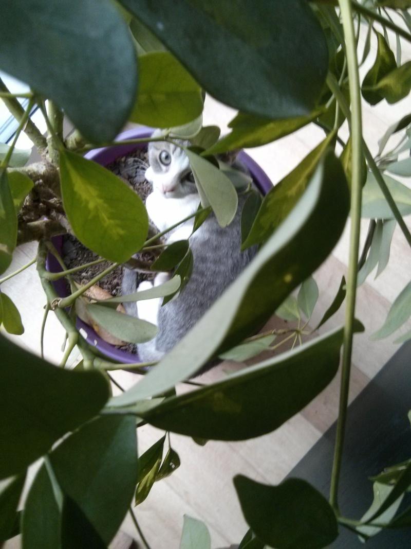 jean s - Jean's, chaton de type européen gris tabby et blanc, né le 06/09/2014 Img_2041