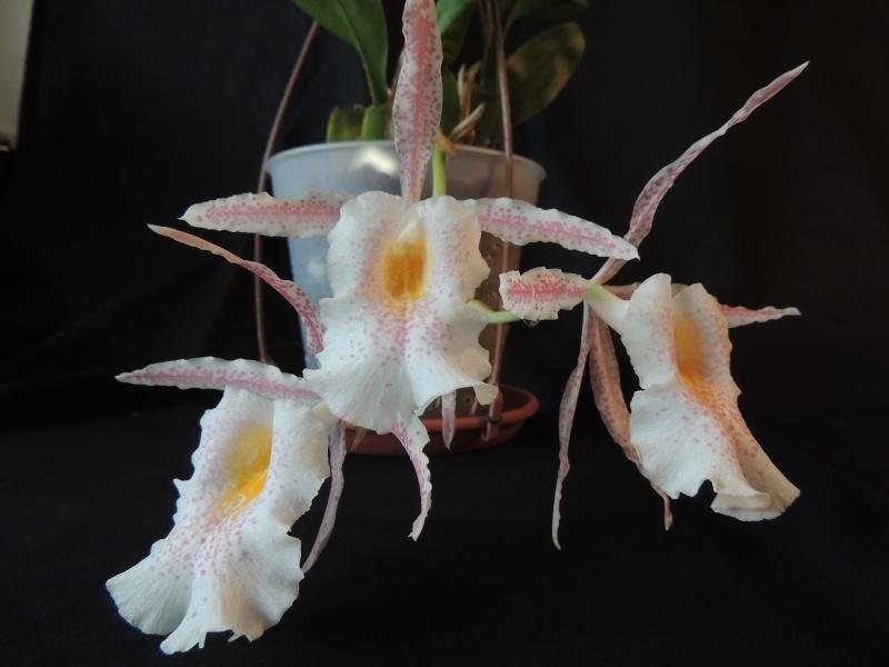 Trichopilia suavis Dscn2610