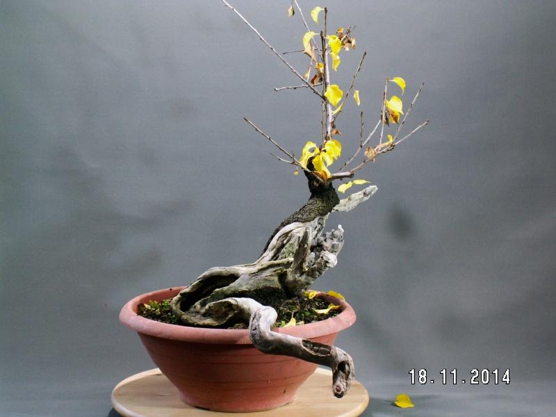 Yamadori - Prunus mahaleb 01710