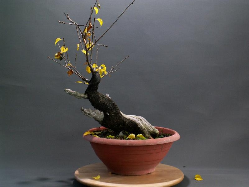 Yamadori - Prunus mahaleb 03910