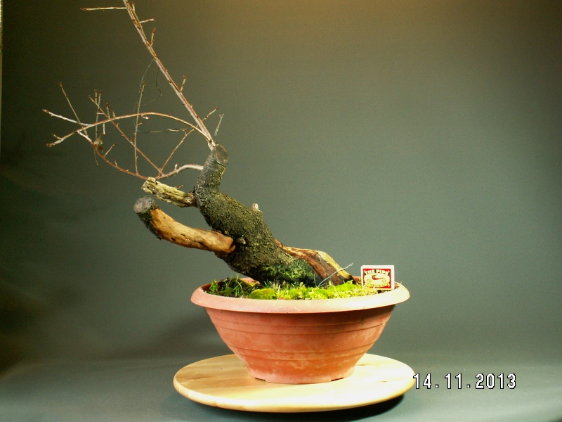 Yamadori - Prunus mahaleb 04710