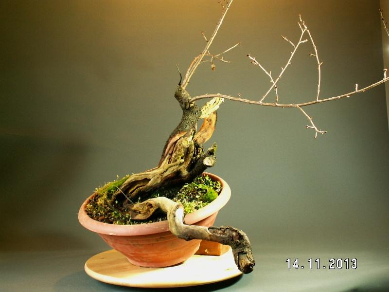 Yamadori - Prunus mahaleb 05412