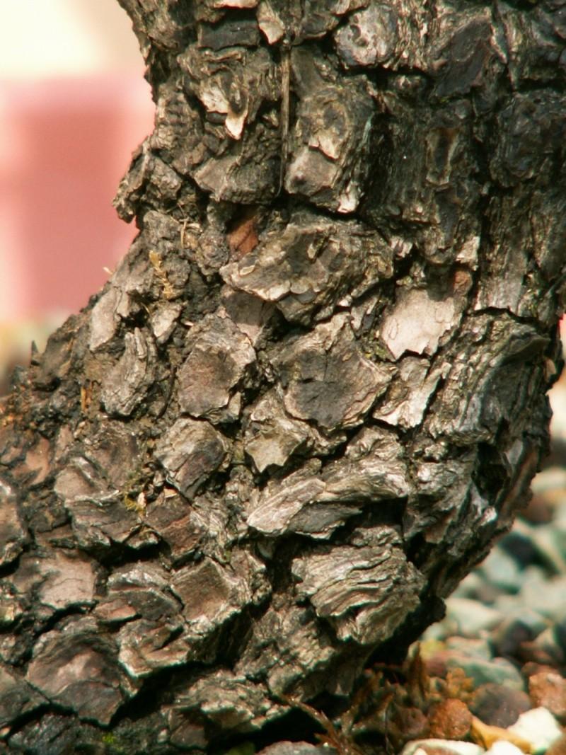 Yamadori - Prunus mahaleb Pict0111