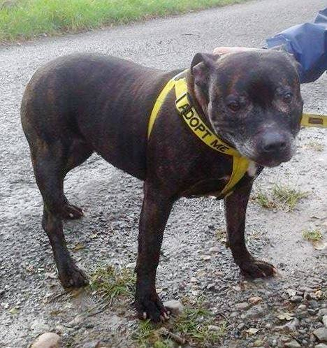 Angel 9 years sbt needs a home Worcester Kennels Angel_11