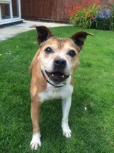 Beattie 12 years Preston kennels looking for a home Beatti12