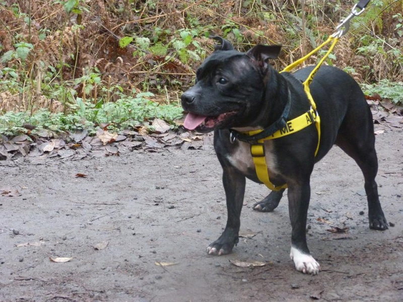 Izzy 8 years sbt needs a new home, Kent area. Izzy_w11