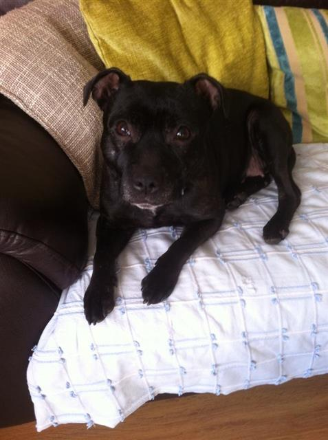 Nelly 7 years sbt needs a new home Staffordshire area foster Nelly_11