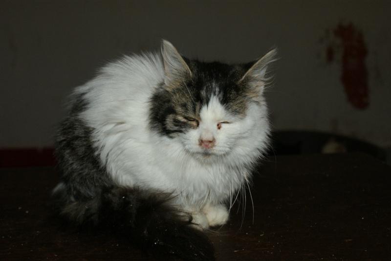 Jingoo, mâle, 05.2014, tabby et blanc  Jingoo16