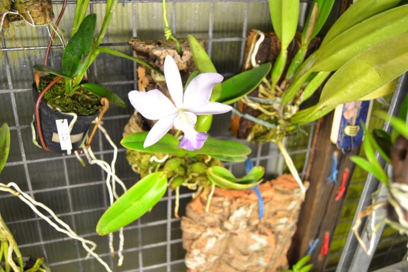 Cattleya walkeriana f. coerulea 'Blue Moon' Dsc_0511