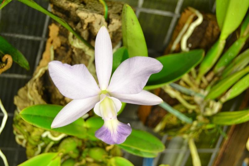Cattleya walkeriana f. coerulea 'Blue Moon' Dsc_0512