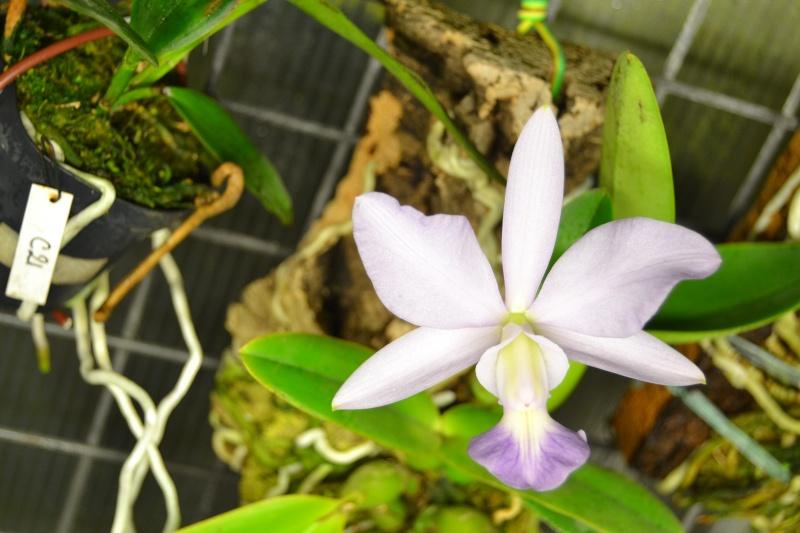 Cattleya walkeriana f. coerulea 'Blue Moon' Dsc_0513
