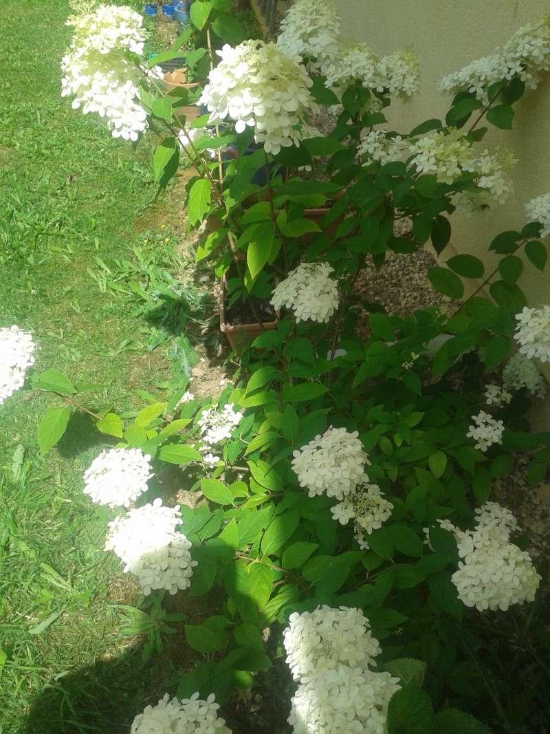 Hydrangea vanille-fraise. 2013-011