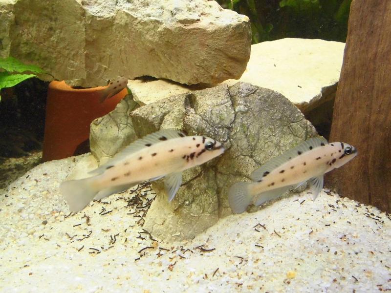 "Chalinochromis sp. ""ndobhoi"" Cimg1613"