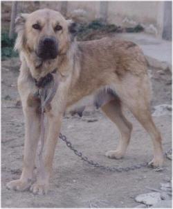"""Le Molossus Aryenne """" Asal """" ( Mélange de dogues persans, ainsi que d'autres chiens d'Asie centrale )  99999910"""