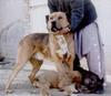 """Le Molossus Aryenne """" Asal """" ( Mélange de dogues persans, ainsi que d'autres chiens d'Asie centrale )  99999911"""