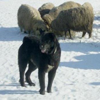 Le chien de berger Alpes de Transylvanie  Hhhhh10
