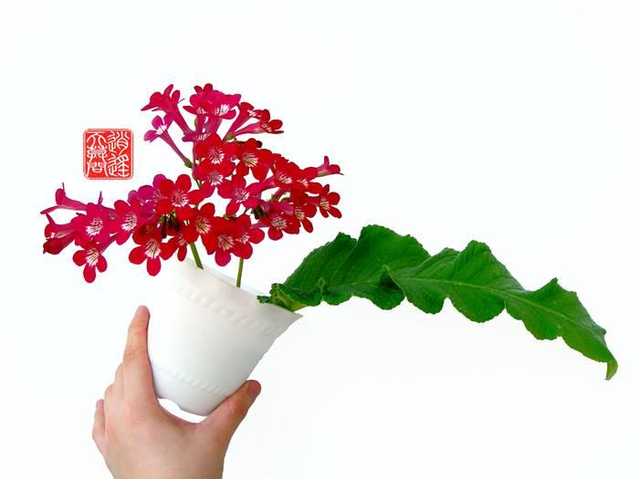 Mes semis de Streptocarpus 10125910