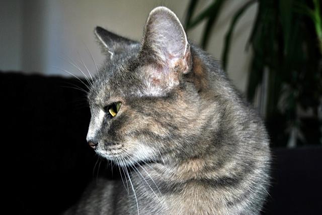 Grisette, femelle tigrée grise et fauve, née le 1er janvier 2011 - Page 2 _dsc0010