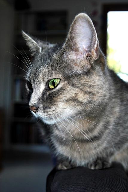 Grisette, femelle tigrée grise et fauve, née le 1er janvier 2011 - Page 2 _dsc0011