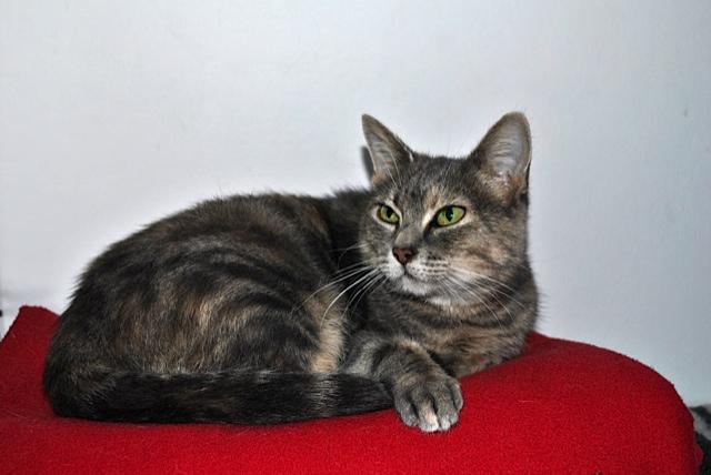 Grisette, femelle tigrée grise et fauve, née le 1er janvier 2011 - Page 2 _dsc0014