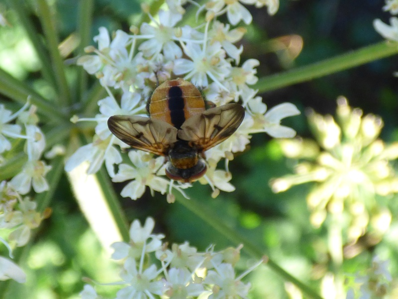 Ectophasia crassipennis. Ectoph10