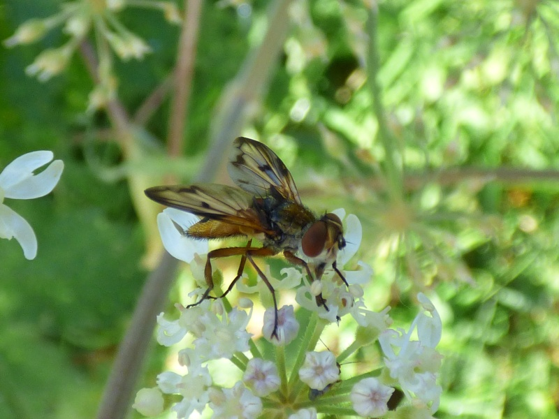 Ectophasia crassipennis. Ectoph11