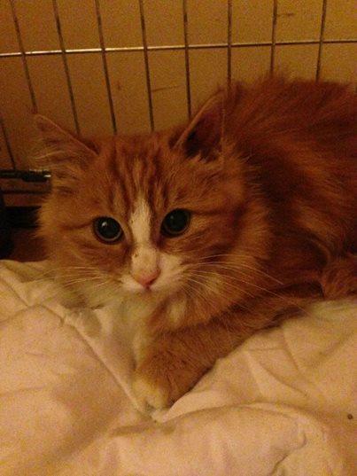 (adoptée) chatonne rousse et blanche (13) 10516710