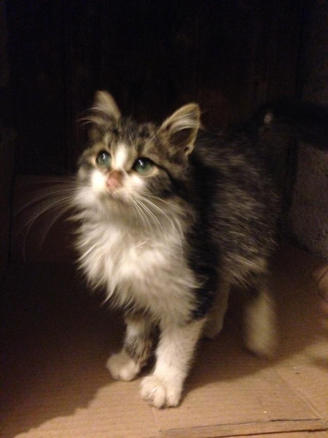 (adoptés) deux chatons à réserver (13)  Lyon10