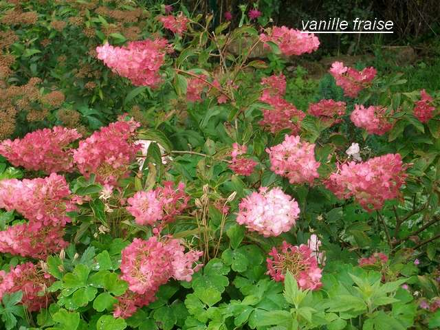 Hydrangea vanille-fraise. Aout_010