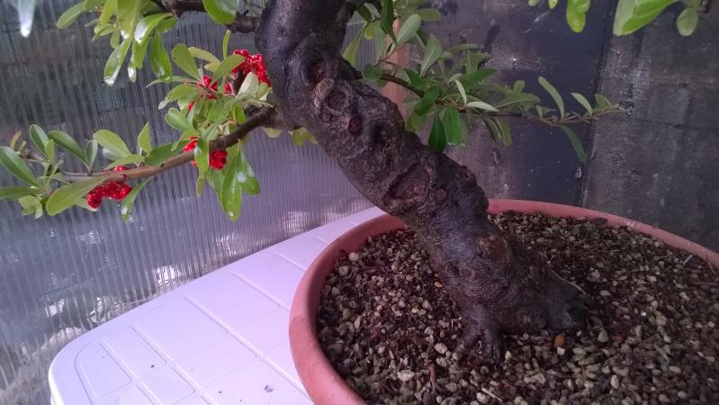 pyracantha  Wp_20122