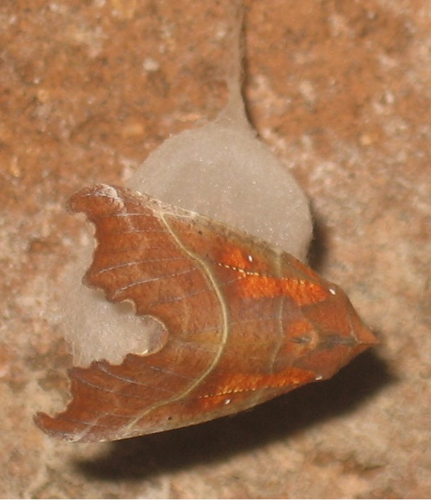 Scoliopteryx libatix L. 1758 noctuelle des cavernes Cocon_10