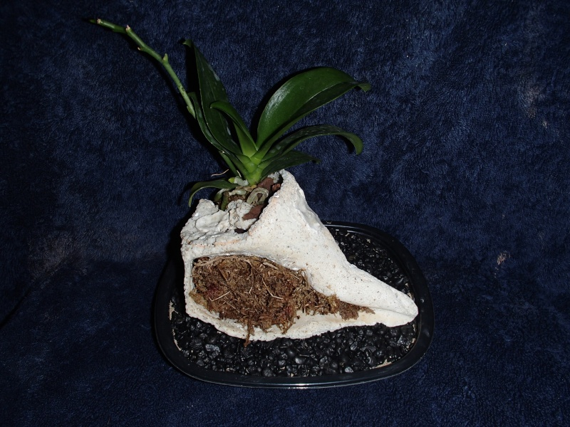 kevin's seaside orchid koosamongo Pc070014