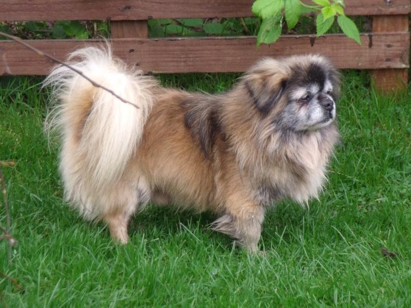 Bigarreau, petit Epagneul du Tibet de 8 ans, encore un réformé d'élevage Dscf9214