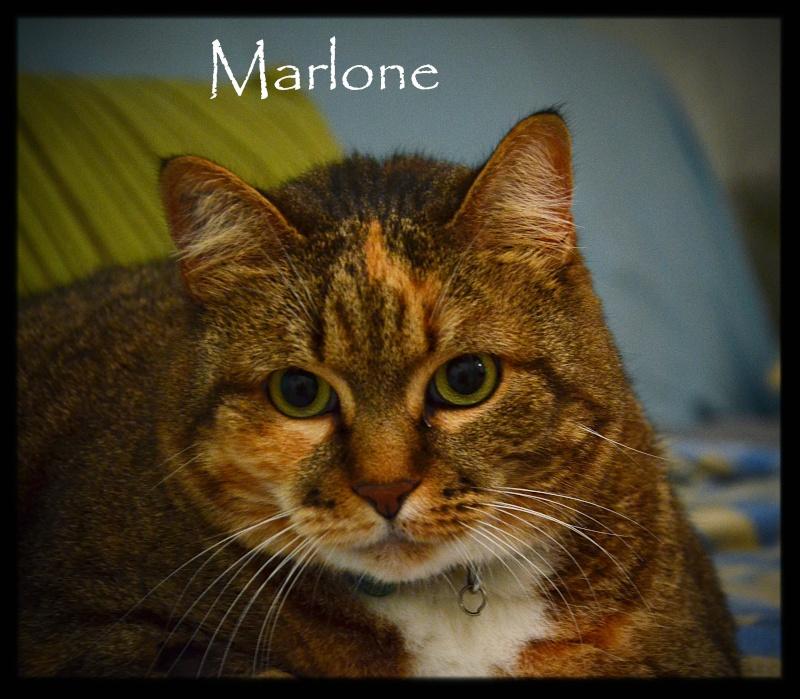 Marlone, femelle type européen tricolore, née en 2004 (frais d'adoption libres) V2dsc_10
