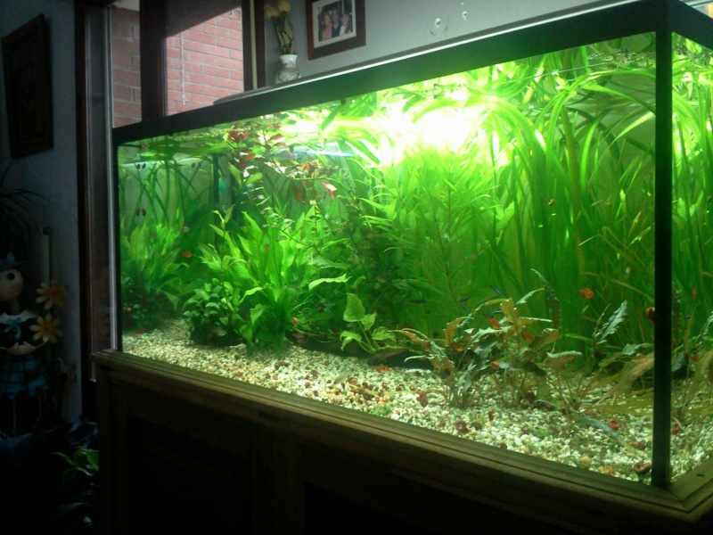 Ma 1ére passion en aquariophilie. Discus10