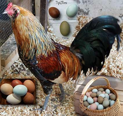 Амераукана, Ameraucana / Easter Egger Amerau11