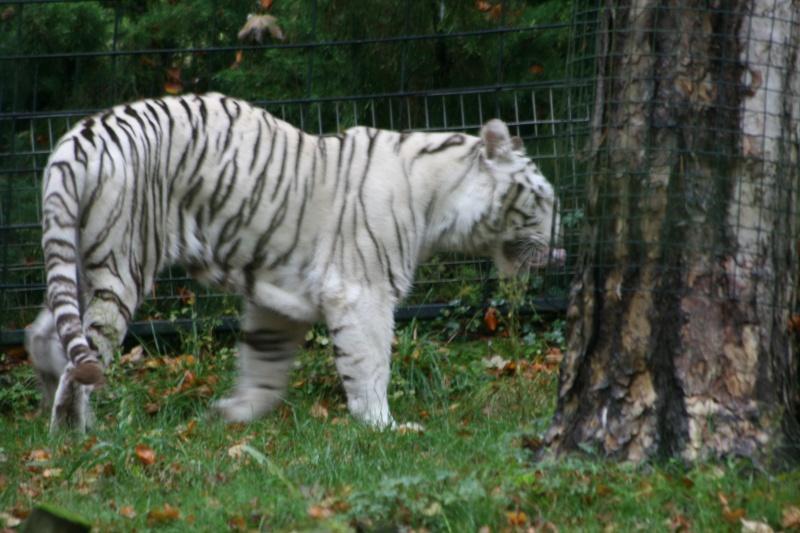 tigre lavé avec omo Img_0011