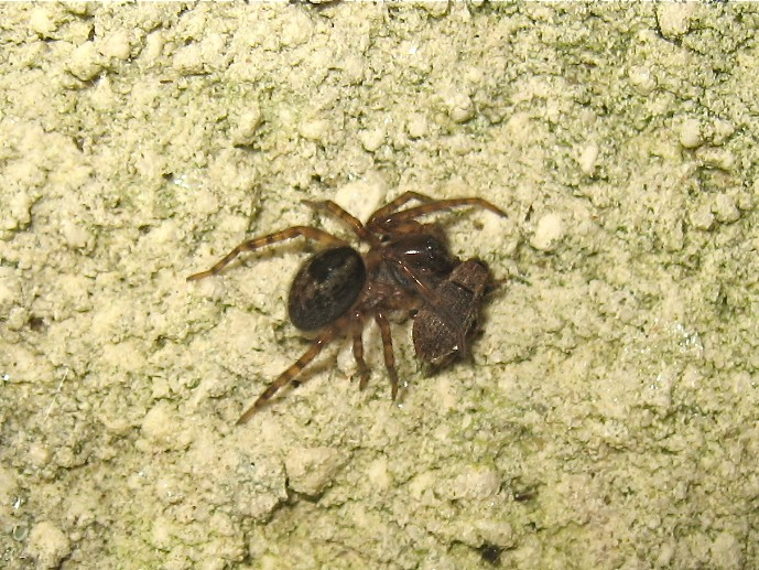 Chuchoteuse (Amaurobius sp.) Img_3013