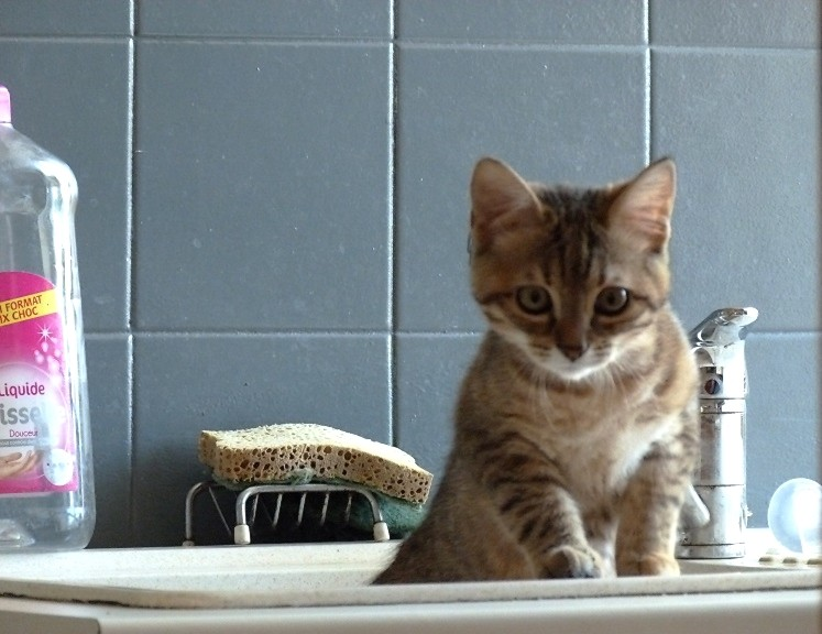 """Voici miss """"Minimoy"""" la petite chatte de ma fille P1020710"""