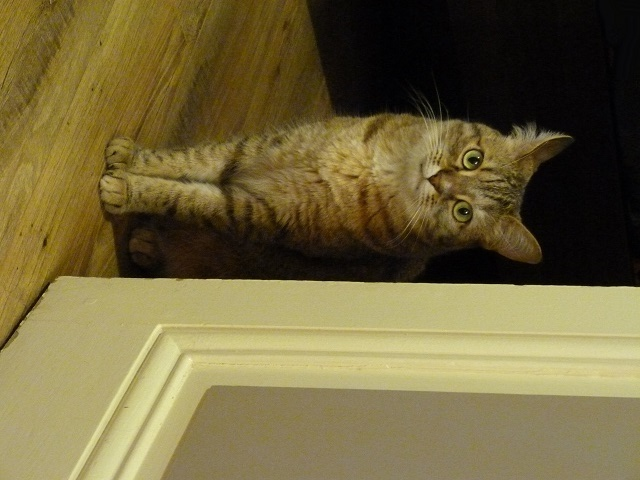 """Voici miss """"Minimoy"""" la petite chatte de ma fille P1030210"""