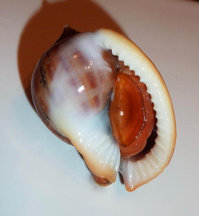 Semicassis saburon (Bruguière, 1792) P1370511