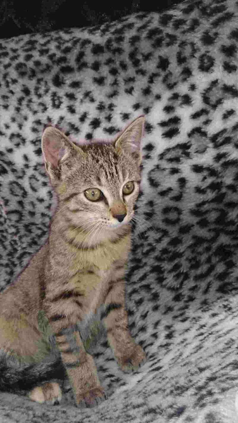 Josy, femelle de type européen, tigrée grise née le 04/08/2014 Mms_im11