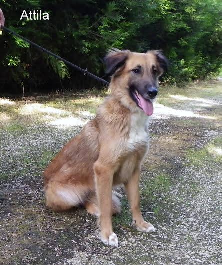 Avis de recherche pour Attila  (la fa s'en est séparée alors que cette chienne appartient au refuge de Messigny)  19396712