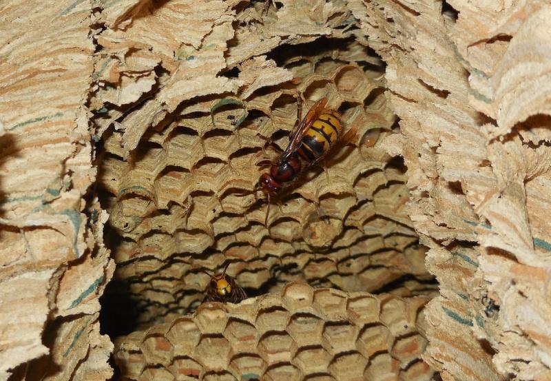 Nid de vespa crabro - Page 3 Dernie10