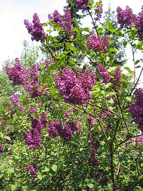Lilas 290px-20